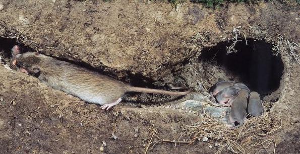 Madrigera de rata