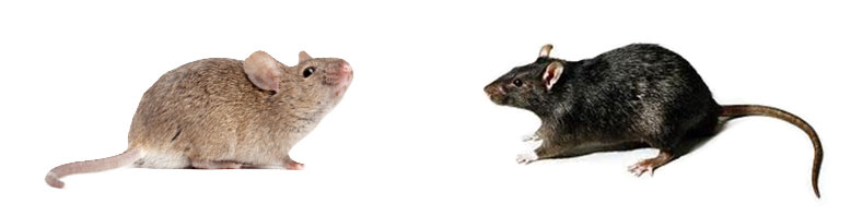 Ratón y rata negra