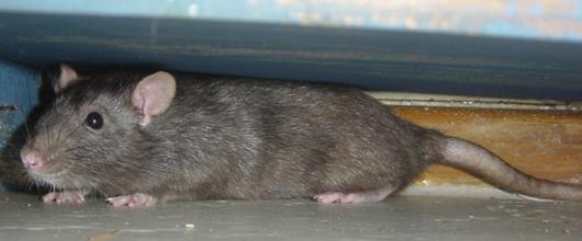 Rata encondida
